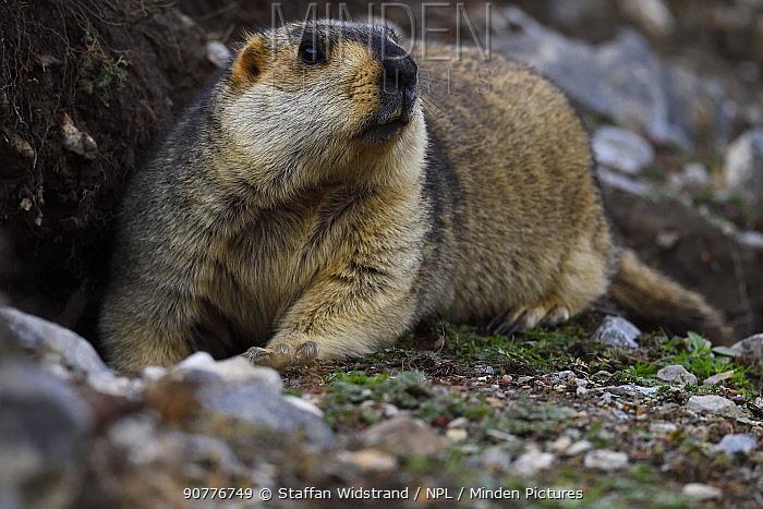 Himalayan marmot (Marmota himalayana) valley near Yushu, Tibetan Plateau, Qinghai, China