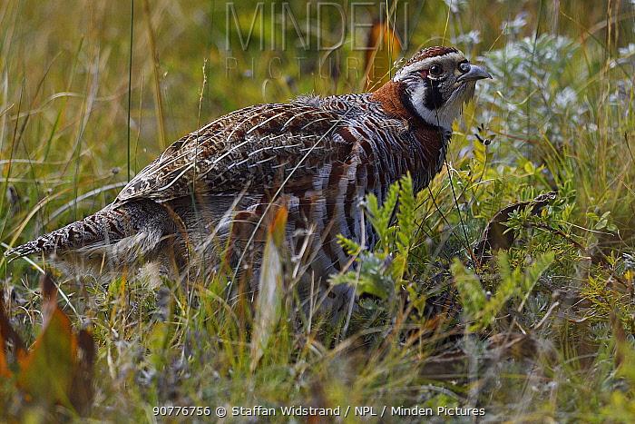 Tibetan partridge (Perdix hodgsoniae) near Yushu, Tibetan Plateau, Qinghai, China