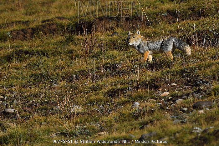 Tibetan sand fox (Vulpes ferrilata), Yushu, Tibetan Plateau, Qinghai, China