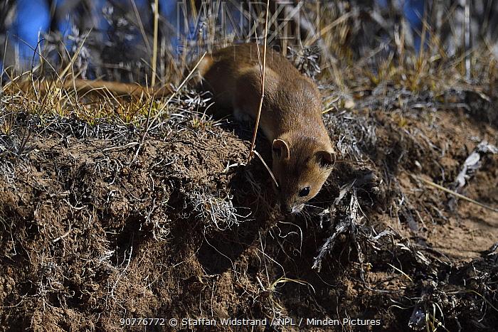 Altai or Mountain weasel (Mustela altaica), Tibetan Plateau, Qinghai, China