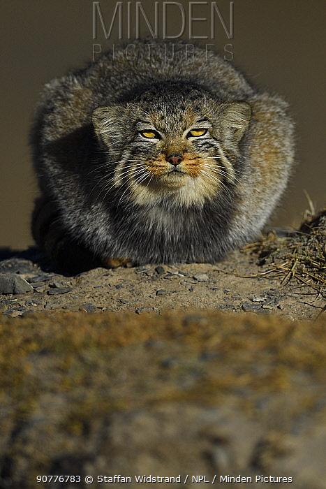 Pallas's cat (Otocolobus manul)  resting, Tibetan Plateau, Qinghai, China
