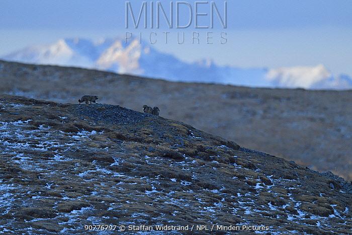 Pallas's cat (Otocolobus manul) in habitat, Tibetan Plateau, Qinghai, China