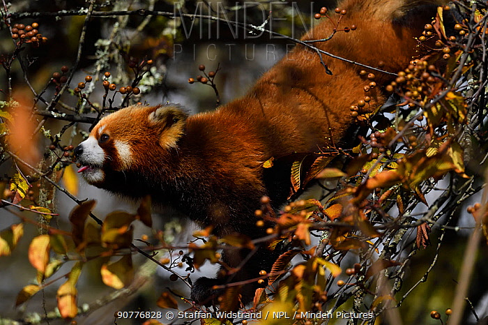 Red panda (Ailurus fulgens) feeding on berry, Laba He National Nature Reserve, Sichuan, China