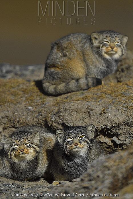 Pallas's cat (Otocolobus manul) two cats, Tibetan Plateau, Qinghai, China