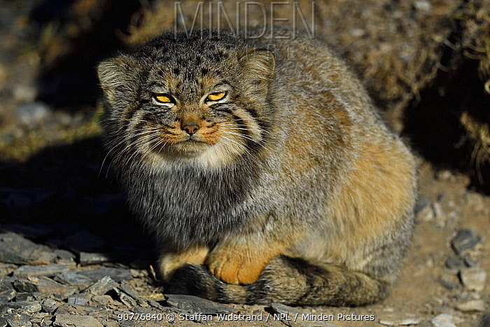 Pallas's cat (Otocolobus manul) portrait, Tibetan Plateau, Qinghai, China