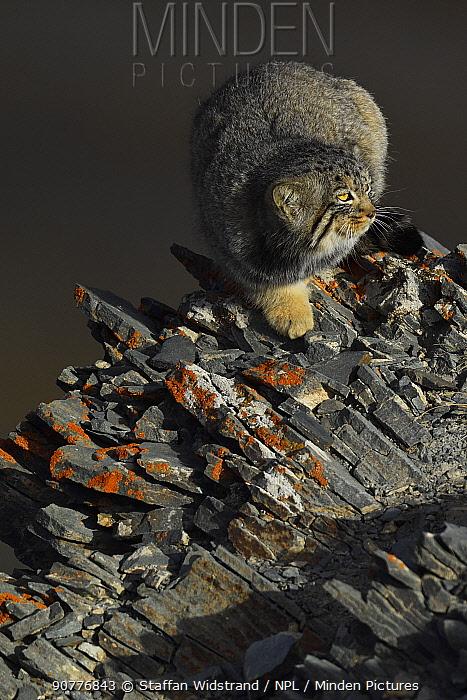 Pallas's cat (Otocolobus manul) Tibetan Plateau, Qinghai, China