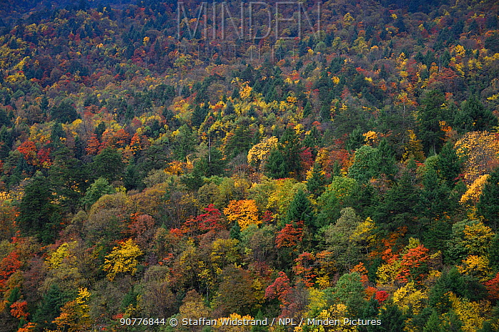 Autumn trees in humid montane mixed forest, Laba He National Nature Reserve, Sichuan, China