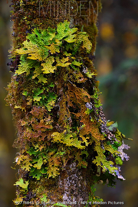Tree lungwort (Lobaria pulmonaria) growing on tree in humid montane mixed forest, Laba He National Nature Reserve, Sichuan, China