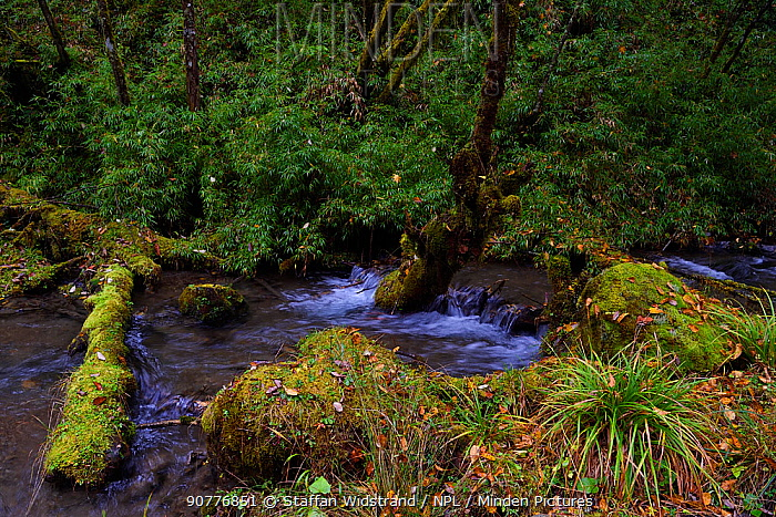 Stream in humid montane mixed forest, Laba He National Nature Reserve, Sichuan, China