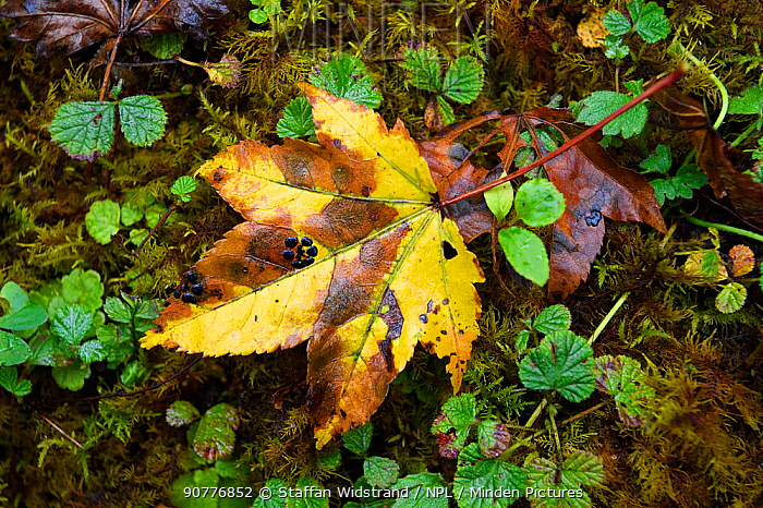 Fallen autumn leaf in humid montane mixed forest, Laba He National Nature Reserve, Sichuan, China