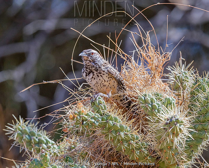 Cactus wren (Campylorhynchus brunneicapillus) building its nest amongst the sharp spines of a Chain cholla cactus (Cylindropuntia fulgida), Sonoran Desert near Tucson, Arizona, USA. July.