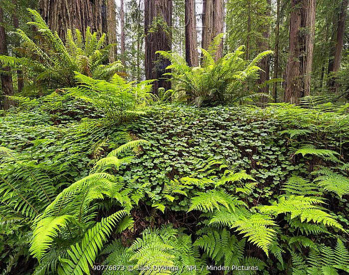 Bracken ferns and Sorrel growing on a felled Redwood tree, Redwood National Park, Prairie Creek, California, USA. May 2017.