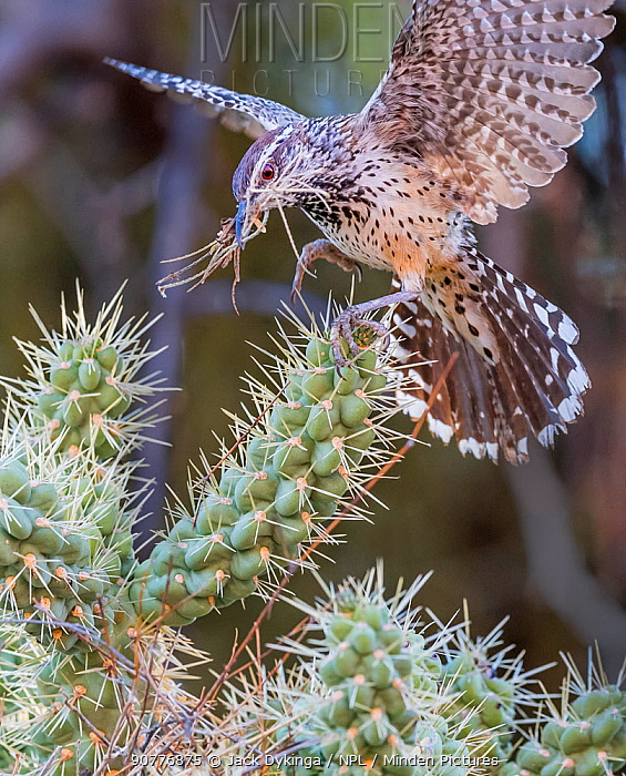 Cactus wren (Campylorhynchus brunneicapillus) carrying nest-building material in its beak for its nest amongst the sharp spines of a Chain cholla cactus (Cylindropuntia fulgida), Sonoran Desert near Tucson, Arizona, USA. July.