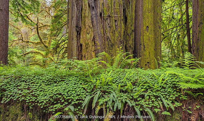 Bracken ferns and Sorrel growing on a felled Redwood tree, Redwood National Park, Prairie Creek, California, USA. June 2017.
