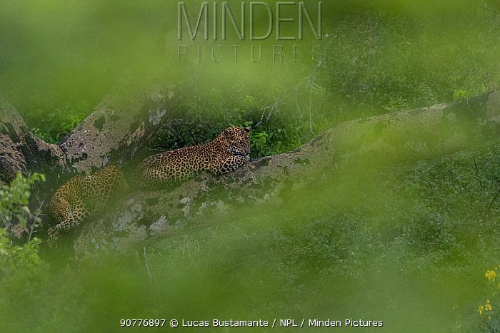 Sri Lankan leopard (Panthera pardus kotiya) cubs in tree, seen through vegetation,.??Yala National Park, Southern Province, Sri Lanka.