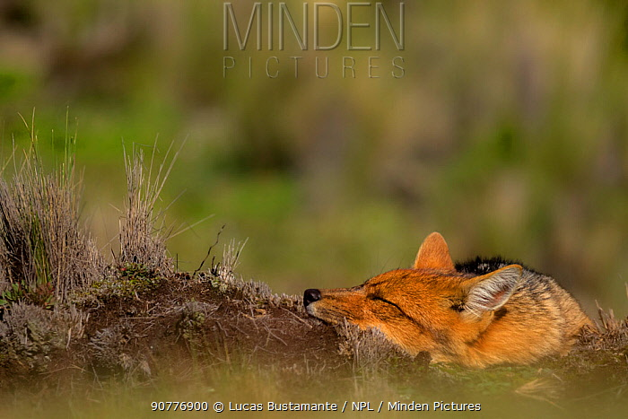 Andean fox (Lycalopex culpaeus)?? resting, Cotopaxi, Cotopaxi, Ecuador.