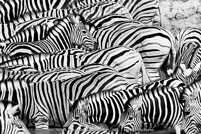 Black and white view of Plains Zebra (Equus quagga) herd, ??Etosha National Park, Kunene, Namibia??.