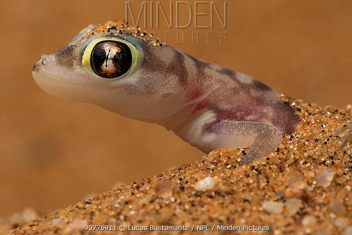 Namib sand gecko (Pachydactylus rangei)?? in sand, Swakopmund, Erongo, Namibia??.