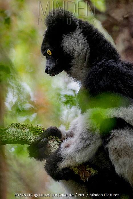 Indri (Indri indri) Andasibe-Mantadia National Park, Moramanga, Madagascar??.