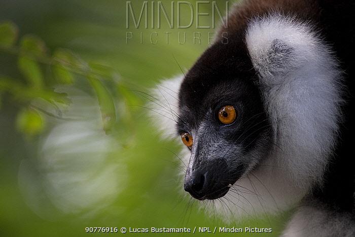 Black-and-white ruffed lemur (Varecia variegata) Palmarium, Atsinanana, Madagascar??.