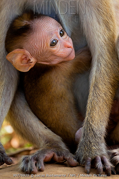 Toque Macaque (Macaca sinica)  baby peering through mothers legs,??Yala National Park, Southern Province, Sri Lanka.