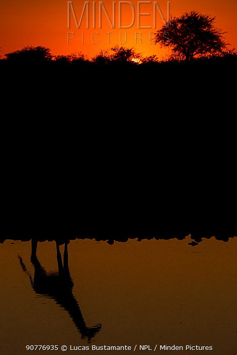 Giraffe (Giraffa camelopardalis) silhouetted in waterhole, ??Etosha National Park, Kunene, Namibia?.