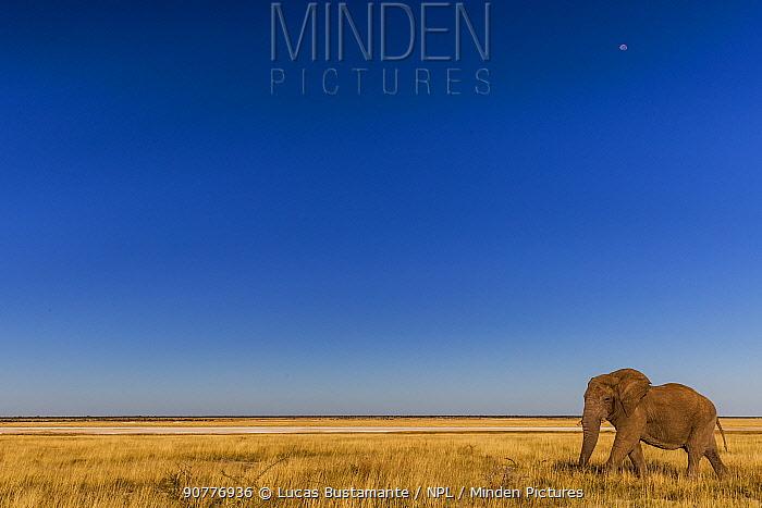 African Elephant (Loxodonta africana)?? Etosha National Park, Kunene, Namibia??.