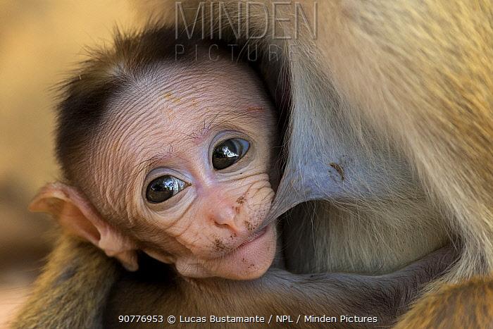 Toque macaque (Macaca sinica) baby feeding, Yala National Park, Southern Province, Sri Lanka.