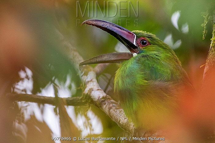 Crimson-rumped toucanet (Aulacorhynchus haematopygus) calling, ??Mashpi, Pichincha, Ecuador.??