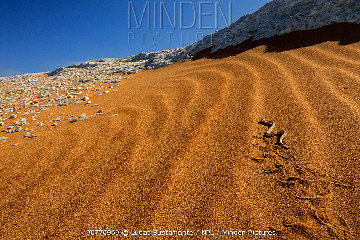 Horned adder (Bitis caudalis) ??Swakopmund, Erongo, Namibia??.