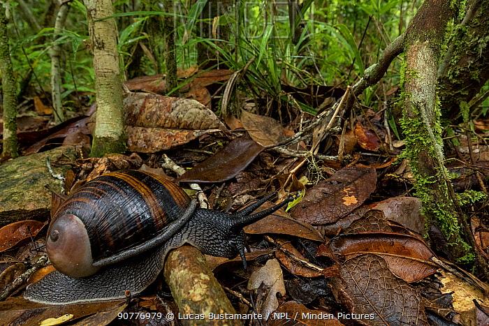 Magnificent land-snail (Helicophanta magnifica)?? Andasibe-Mantadia National Park, Moramanga, Madagascar??.