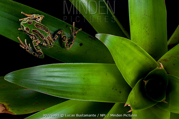 Andean marsupial frog (Gastrotheca riobambae)?? on bromeliad, Papallacta, Napo, Ecuador??.