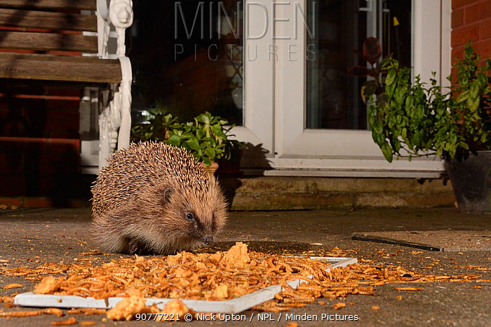 Hedgehog (Erinaceus europaeus) feeding on mealworms and oatmeal left out on a patio, Chippenham, Wiltshire, UK, August.  Taken with a remote camera. Property released.