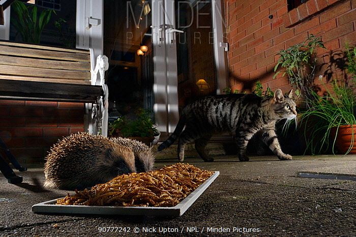 Two Hedgehogs (Erinaceus europaeus) feeding on mealworms left out for them on a patio as a domestic cat walks past, Chippenham, Wiltshire, UK, August.  Taken with a remote camera. Property released.