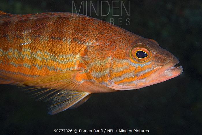 Comber (Serranus cabrilla), Larvotto Marine Reserve, Monaco, Mediterranean Sea