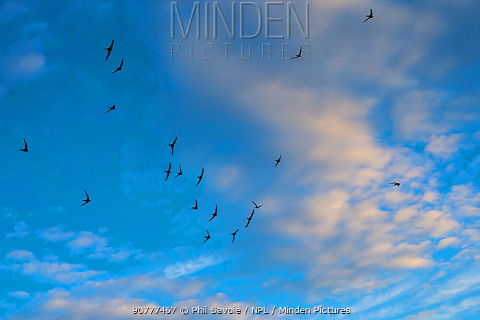 Swift (Apus apus) flock screaming  in flight against blue sky and clouds, Monmouthshire, Wales, UK, July.