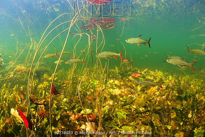 Underwater view of African tigerfish (Hydrocynus vittatus), predatory fish in the Okavango river with Water lily (Nymphaea nouchali var. caerulea) and other aquatic plants. Okavango Delta, Botswana,  June 2014 . Photographed for The Freshwater Project