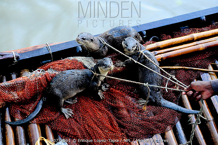 Smooth coated otters (Lutragale perspicillata) on leashes, used by locals for traditional fishing practices, Sundarbans National Park, the largest mangrove swamp in the world. Bangladesh. UNESCO World Heritage Site. June 2012.