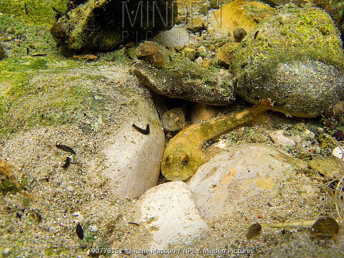 Two European bullhead fish (Cottus gobio) hiding among rocks in small river, Ain, Alps, France