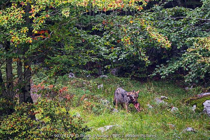 Wild Apennine wolf (Canis lupus italicus) pup carrying deer skull. Central Apennines, Abruzzo, Italy. September. Italian endemic subspecies.