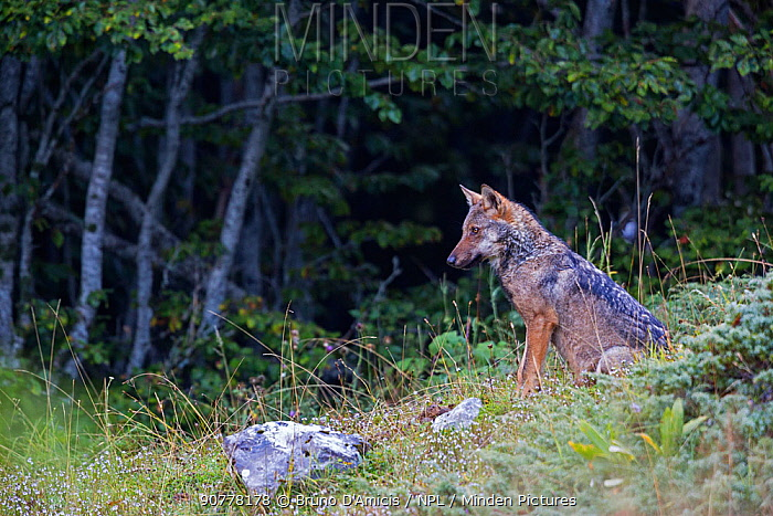 Wild Apennine wolf (Canis lupus italicus) pup on a forest rim in summer. Central Apennines, Abruzzo, Italy. September. Italian endemic subspecies.