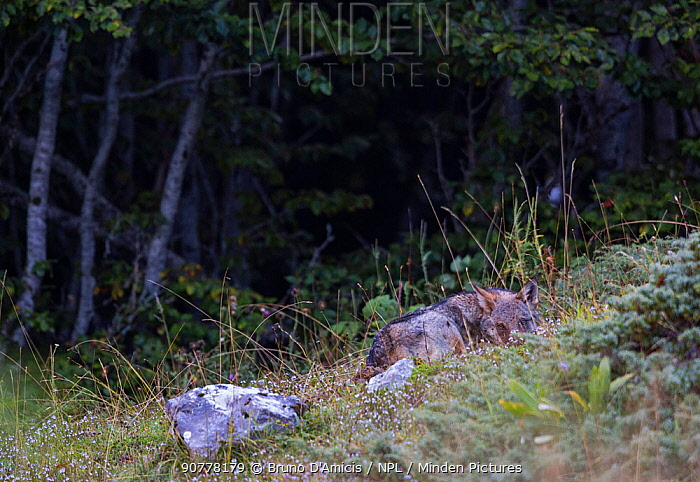 Wild Apennine wolf (Canis lupus italicus) pup resting in a forest meadow in summer. Central Apennines, Abruzzo, Italy. September. Italian endemic subspecies.