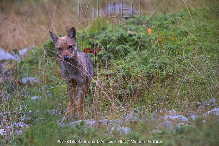 Wild Apennine wolf (Canis lupus italicus) pup in a meadow in summer. Central Apennines, Abruzzo, Italy. September. Italian endemic subspecies.