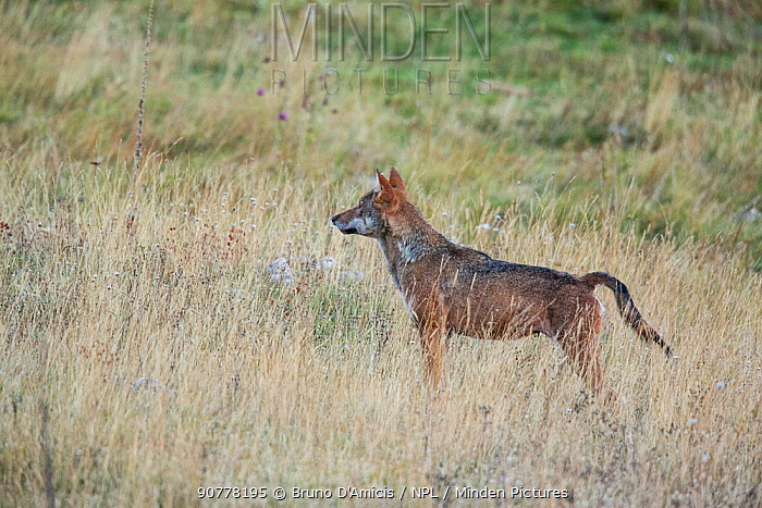 Wild Apennine wolf (Canis lupus italicus) adult female crossing mountain meadow in autumn.  Central Apennines, Abruzzo, Italy. September. Italian endemic subspecies.