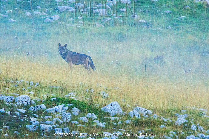 Wild Apennine wolf (Canis lupus italicus) adult in the mist. Central Apennines, Abruzzo, Italy. September. Italian endemic subspecies.