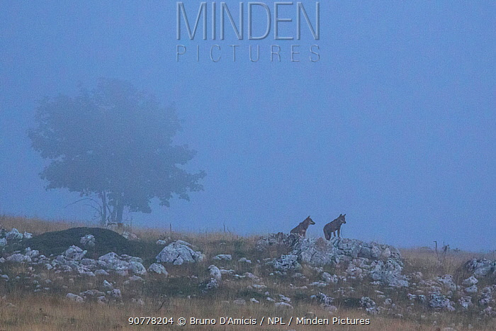 Wild Apennine wolves (Canis lupus italicus) adults pausing on a rock on mountain slope in the fog. Italian endemic subspecies. Central Apennines, Abruzzo, Italy. September 2014