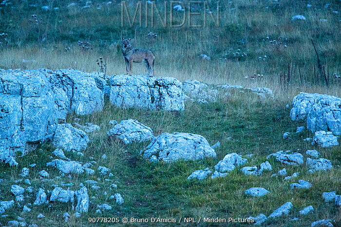 Wild Apennine wolf (Canis lupus italicus) adult at twilight.  Central Apennines, Abruzzo, Italy. September. Italian endemic subspecies.