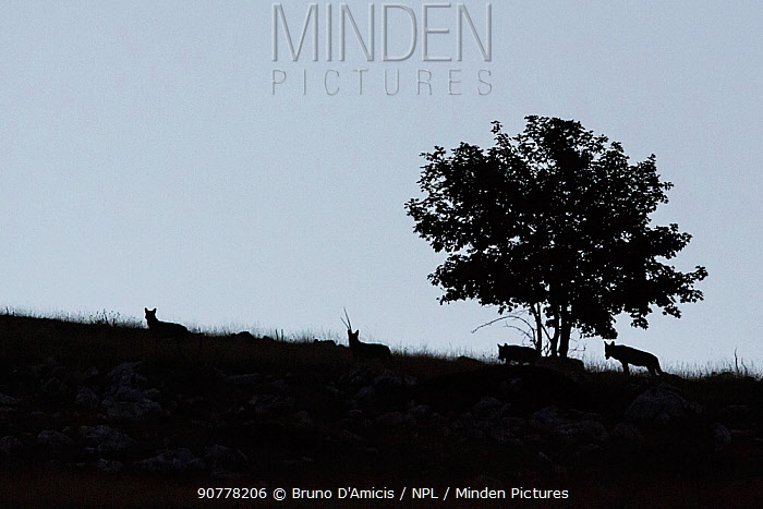 Wild Apennine wolves (Canis lupus italicus) silhouettes around tree at dawn.  Central Apennines, Abruzzo, Italy. September. Italian endemic subspecies.