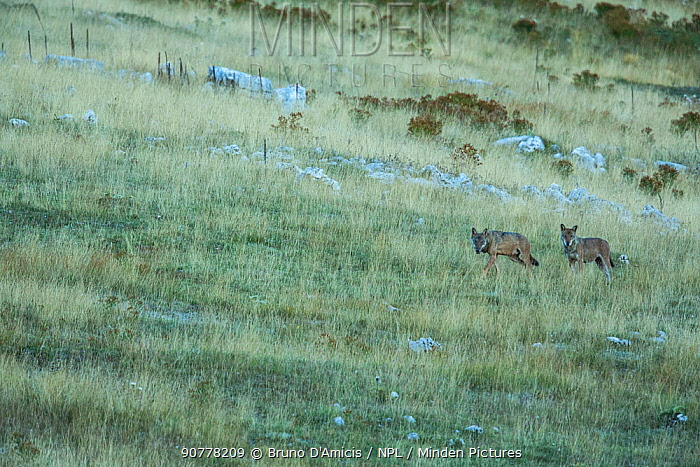 Wild Apennine wolves (Canis lupus italicus) adults patrolling their mountain territory. Italian endemic subspecies. Central Apennines, Abruzzo, Italy. September 2014