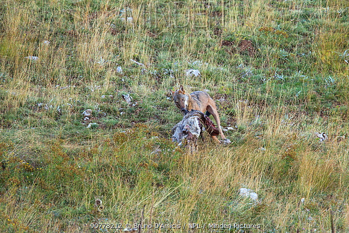 Wild Apennine wolf (Canis lupus italicus) feeding on domestic cow carcass. Central Apennines, Abruzzo, Italy. September. Italian endemic subspecies.